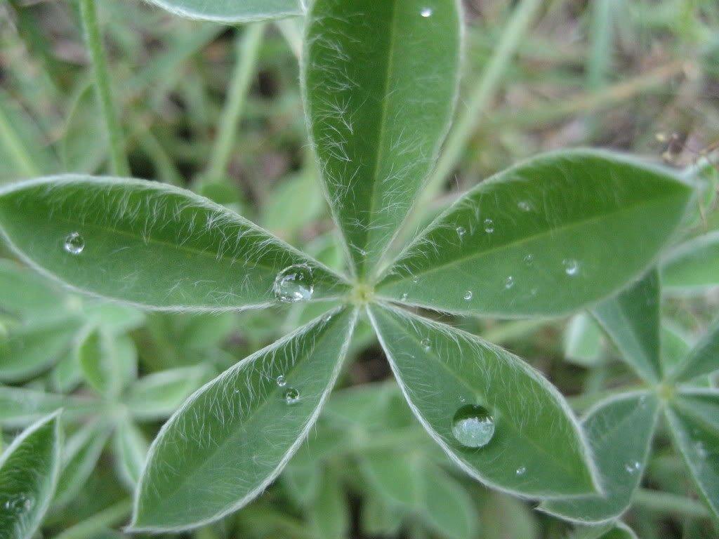 150 TEXAS BLUEBONNET LUPINE Lupinus Texensis Flower Seeds