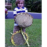 Shopmeeko Giant Titan Sunflowers 24 Inch Heads, 15 pcs, 15-18 Ft Tall/One of World' s Largest TS238T