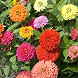 Zinnia Seeds, California Giants, 1 Ounce, 3000+ Seeds