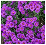 David's Garden Seeds Flower Aster New England (Mulit) 500 Non-GMO, Open Pollinated Seeds