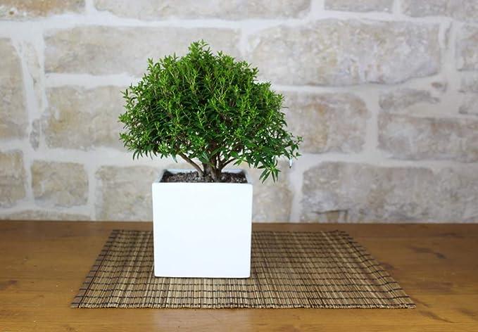 Bonsai di Mirto in vaso cubico bianco