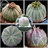 TopOne Sales Euphorbia obesa Basketball Sea Urchin Seeds, Professional Pack, 2 Seeds, Living Baseball Golf ball succulent plant