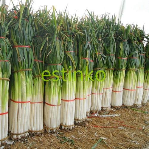 Shangdong Zhangqiu Giant Chinese Green Onion Seeds Vegetable Seeds Home Garden Bonsai Plant Chinese Vegetable Seed