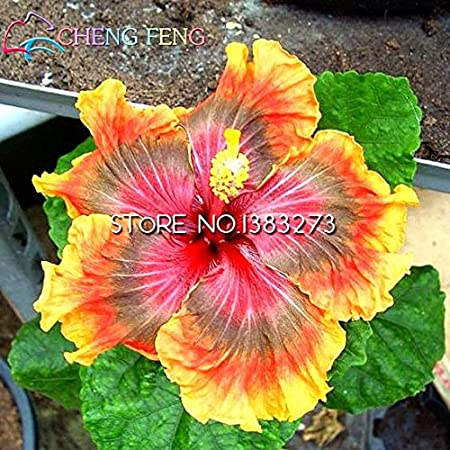 On Sale 100pcs Hibiscus Seeds 17kinds Hibiscus Rosa Sinensis Flower