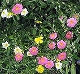 Rock Rose Flower Seeds (Helianthemum Mutabile Mix) (400)