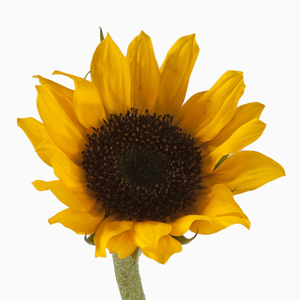 eFlowy - 100 Sunflowers - Wholesale Fresh Cut from the Farm by eFlowy