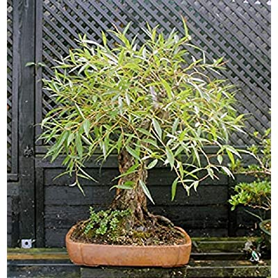 Bonsai Globe Willow Tree - Large Thick Trunk Cutting - Naturally Round & Symmetrical Canopy - Indoor Outdoor Live Bonsai Tree Plant : Garden & Outdoor