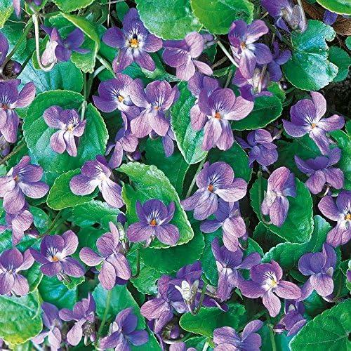 blau f/ür schattige Pl/ätze im Garten Fl/ächendecker 3 Garten- Pflanzen tomgarten Duft-Veilchen K/önigin Charlotte