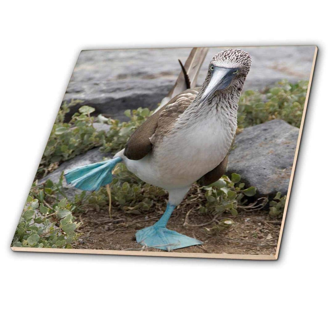 3dRose ct/_86141/_3 Ecuador Galapagos Islands Blue-Footed Booby-Sa07 Cmi0902-Cindy Miller Hopkins-Ceramic Tile 8-Inch