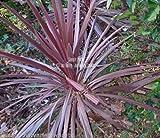 Cordyline Australis Purpurea Seeds Purple Leaves Perennial Evergreen Frost Hardy