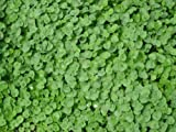 SeedRanch Dichondra Repens Seeds 10 Lbs.