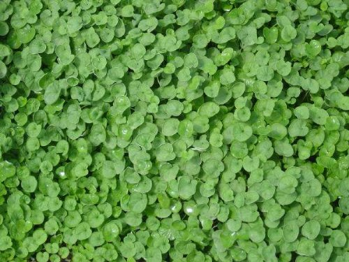 the-dirty-gardener-seedranch-dichondra-repens-seeds-2-pounds
