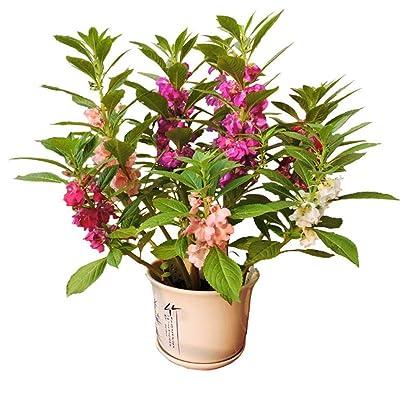 Double Camellia Impatiens Balsamina Flower Mix Color 100 Seeds : Garden & Outdoor