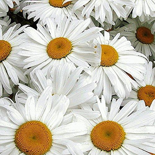 Everwilde Farms - 2000 Ox-Eye Daisy Wildflower Seeds - Gold Vault Jumbo Seed (Wild Daisy)