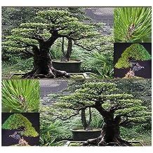 (10) JAPANESE RED PINE Tree Seed - Pinus densiflora - JAPANESE BONSAI TREE