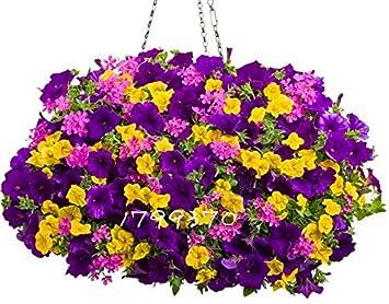 Amazon com : 100pcs/bag Hanging Petunia Mixed Seeds, rare petunia