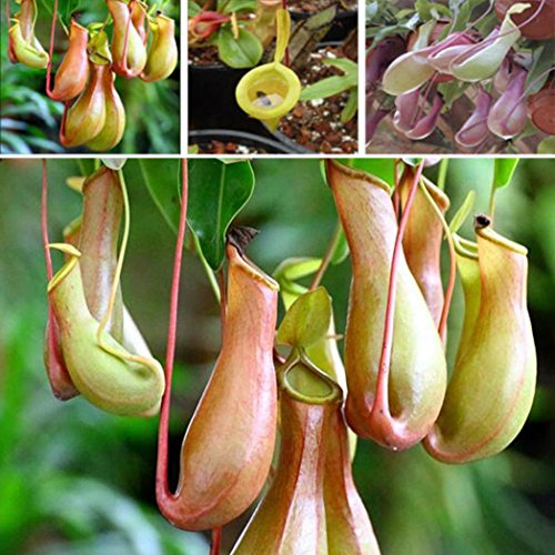 Pitcher Plant Seeds - Bluelans Seeds Pitcher Plant Purpurea Foliage Carnivorous Shades Flower Garden Decor