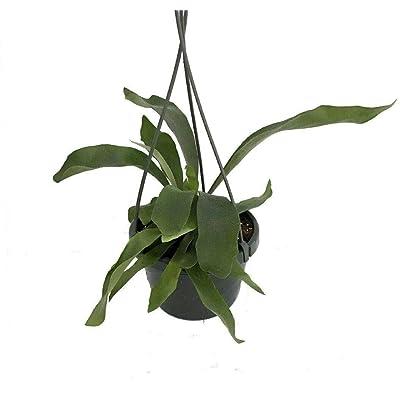 """AchmadAnam - 6"""" Hanging Basket - Staghorn Fern - Platycerium biforcatum - Exotic, Plant, Tree, Bulb : Garden & Outdoor"""
