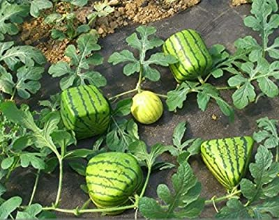 ADB Inc Rarest Square Triangular Cylindrical Small Watermelon Seeds