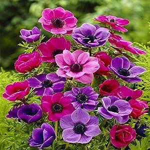 anemone coronaria de caen 20 flower bulbs. Black Bedroom Furniture Sets. Home Design Ideas
