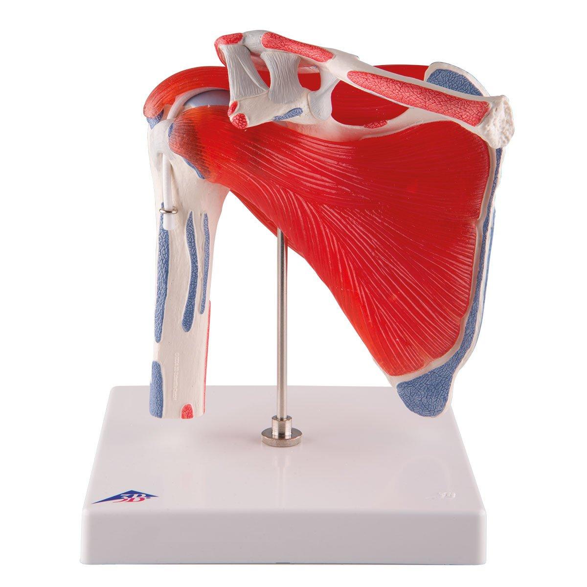 3B Scientific A880 Modelo de anatomía humana Articulación del Hombro ...