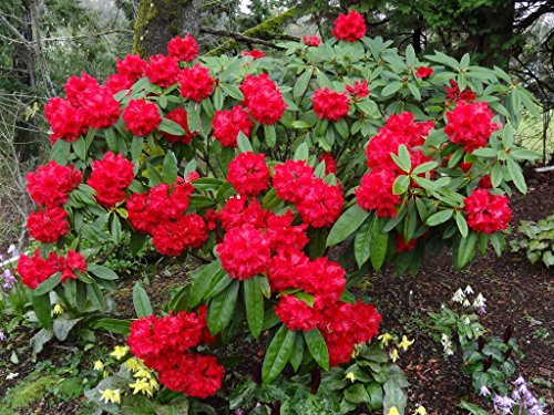 rhododendron-taurus-seven-gallon-plant-rhododendron-of-the-year-x4