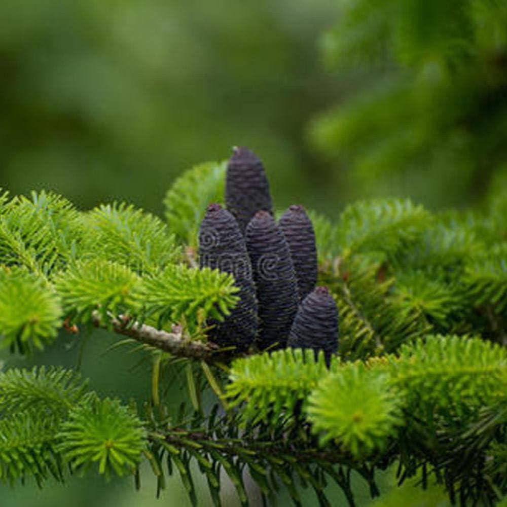 Semillas de árboles de forestación y reverdecimiento de Chi Fir 300 piezas de especies de árboles de hoja perenne de jardín tolerantes al frío y resistentes a la sequía-1 catty_500 Semillas de abeto