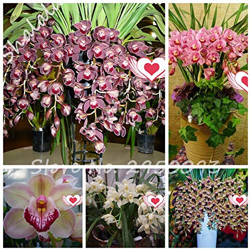 Potted Cymbidium - 100 pcs Exotic cymbidium Flore,Rainbow Chinese cymbidium Orchid Flower,Indoor Seeds Potted orquideas Plant cicada Flower : Mixed