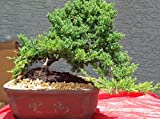 Indoorbonsaiexotics Juniper Large Bonsai Tree