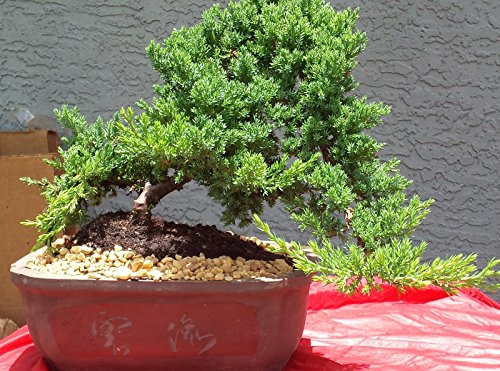 Indoorbonsaiexotics Juniper Large Bonsai Tree by INDOORBONSAIEXOTICS LARGE JUNIPER BONSAI TREE (Image #1)