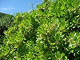 100 fresh SEEDS SCAEVOLA FRUTESCENS (SERICEA) BEACH NAUPA