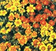 Herb Seeds - Marigold Mexican - 500 Seeds