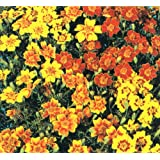 Herb Seeds - Marigold Mexican - 1000 Seeds