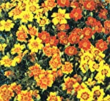 Herb Seeds - Marigold Mexican - 250 Seeds