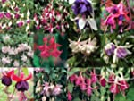 Trailing Fuchsia Mixed Collection 10...