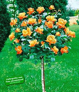 BALDUR-Garten Rosen-Stämmchen \'Maja Oetker®\', 1 Rosenstamm: Amazon ...