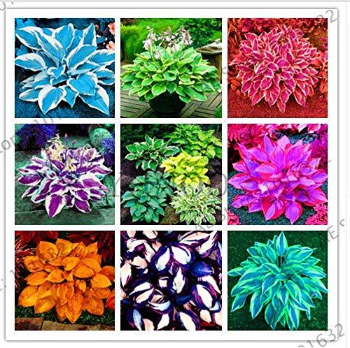 - Colorful hosta Mix Bonsai Seed Tree Flower Plants Decor Home Garden