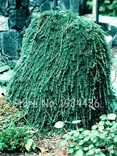 Konato - 50 Pcs Climbing Spruce Picea Tree Bonsai Potted Pine Grove Evergreen for Home Garden DIY Pungens Glauca Christmas Adornment - (Color: Q10)