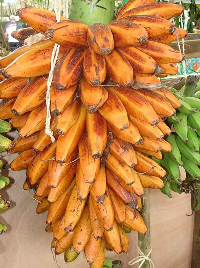 Amazon.com: Plantain Banana Fei Aiuri - Planta de plátano ...