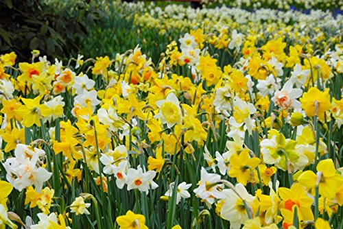 Naturalizing Daffodil - 5 Daffodil Bulb- Naturalizing Mix, Long lasting, easy care, deer resistant