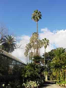 Washingtonia filifera California Fan Palm Seeds fredda Siccit/à Sale vento tollerante
