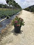 PlantVine Pseuderanthemum, Shooting Star - Large - 8-10 Inch Pot (3 Gallon), Live Plant