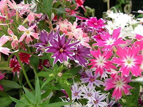 30+ Twinkle Star Mix Phlox Flower Seeds/Shade Perennial