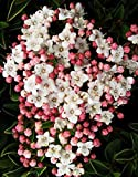 "Viburnum Tinus Robustum 4-8"" Tall, Sweet Flowers to Enjoy Year after Year, Potted Plant"
