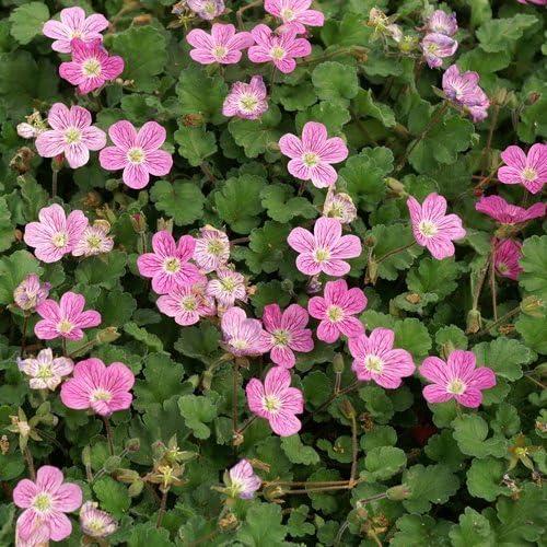 Pack x6 Erodium Bishops Form Perennial Garden Plug Plants
