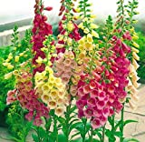 Excelsior Mix Foxglove - Digitalis purpurea - Live Plant - Quart Pot