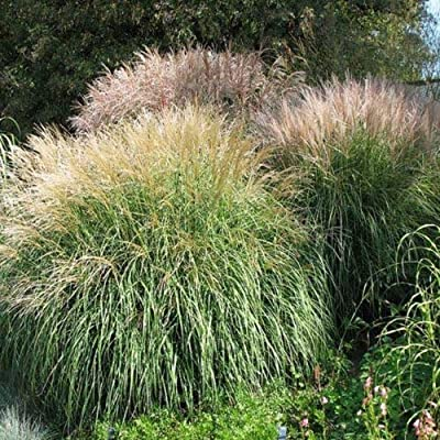 100 Seeds Chinese Silver Grass (Miscanthus) : Garden & Outdoor