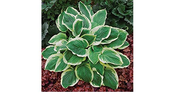 """hosta ROYAL WEDDING small fragrant disease-free 3/"""" pot = 1 Live Potted Plant"""