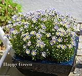 FELICIA THE BLUE DAISY - Felicia amelloides - 80 SEEDS - Annual Flower