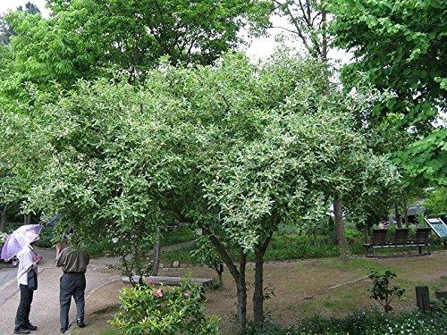 Autumn Olive Shrub - 5